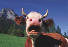 วัว.. สาเหตุหนึ่งของโลกร้อน